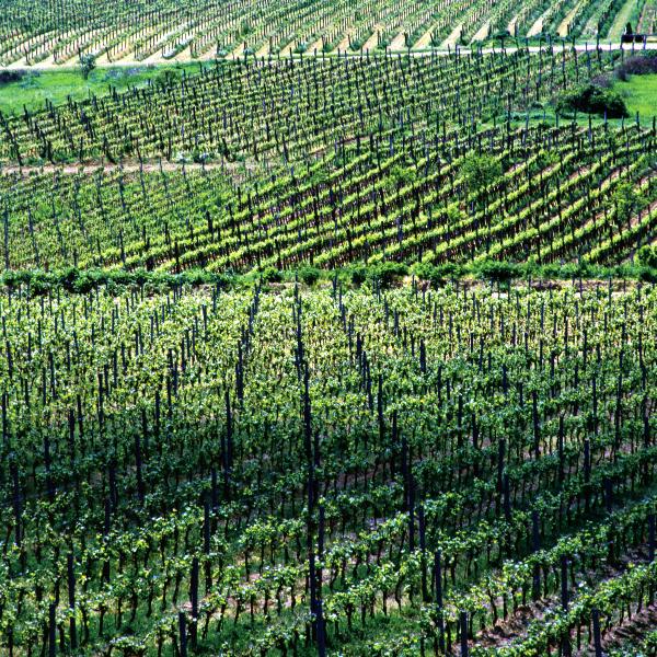 Od najstarszych na świecie winiarni w Kutjevo, po nowoczesne w Ilok